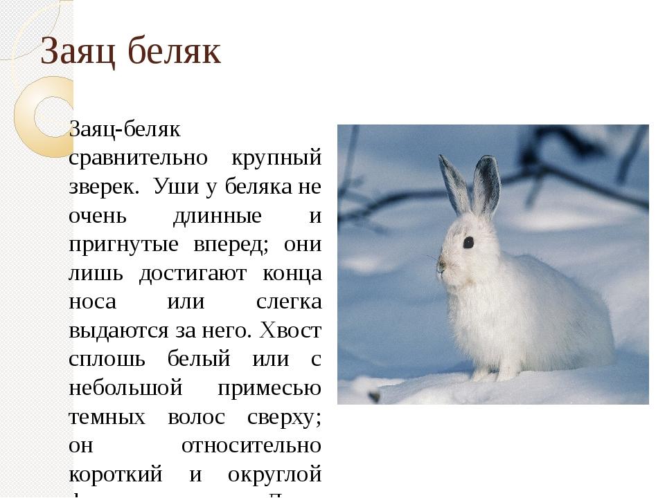 Заяц беляк Заяц-беляк сравнительно крупный зверек. Уши у беляка не очень дли...