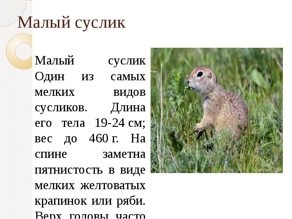 Малый суслик Малый суслик Один из самых мелких видов сусликов. Длина его тела...