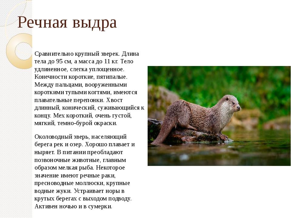 Речная выдра Сравнительно крупный зверек. Длина тела до 95 см, а масса до 11...
