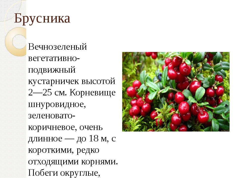 Брусника Вечнозеленый вегетативно-подвижный кустарничек высотой 2—25 см. Корн...