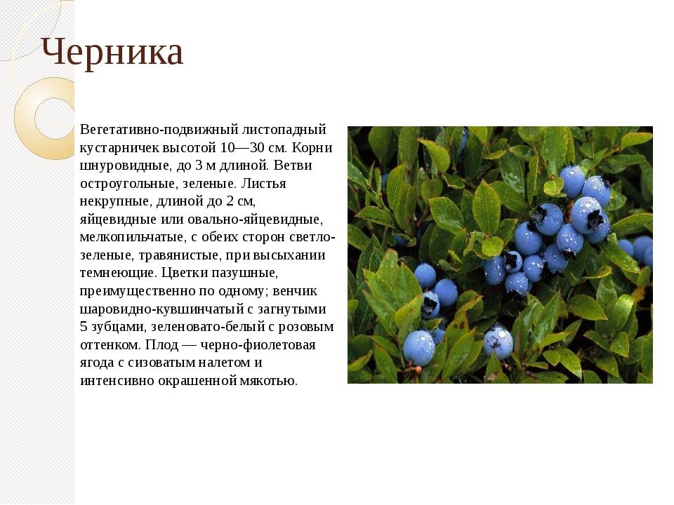 Черника Вегетативно-подвижный листопадный кустарничек высотой 10—30 см. Корни...