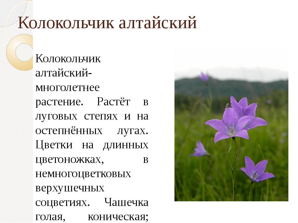 Колокольчик алтайский Колокольчик алтайский- многолетнее растение. Растёт в л...