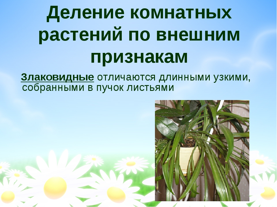 Деление комнатных растений по внешним признакам Злаковидные отличаются длинны...