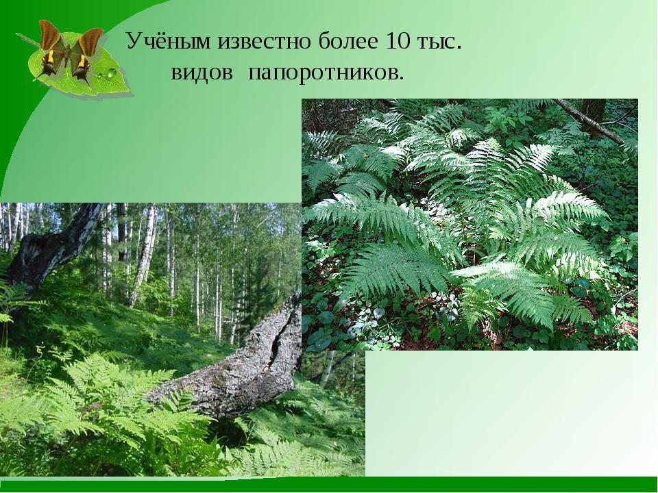 Учёным известно более 10 тыс. видов папоротников.