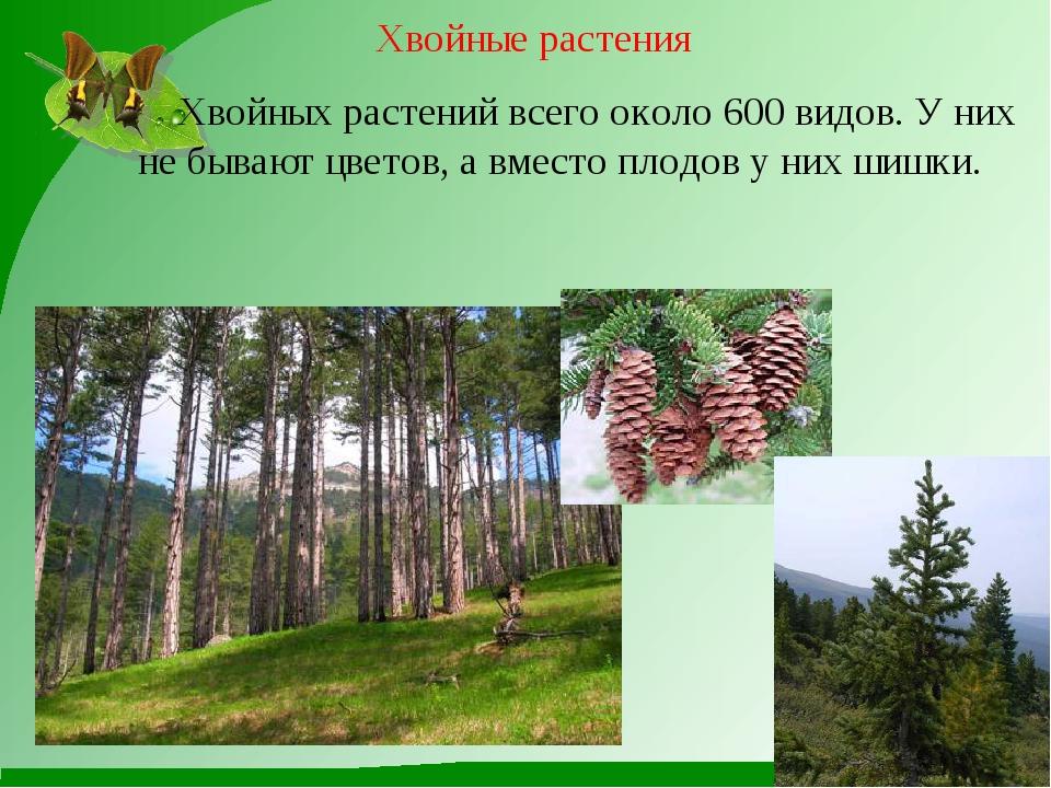 Хвойные растения Хвойных растений всего около 600 видов. У них не бывают цвет...