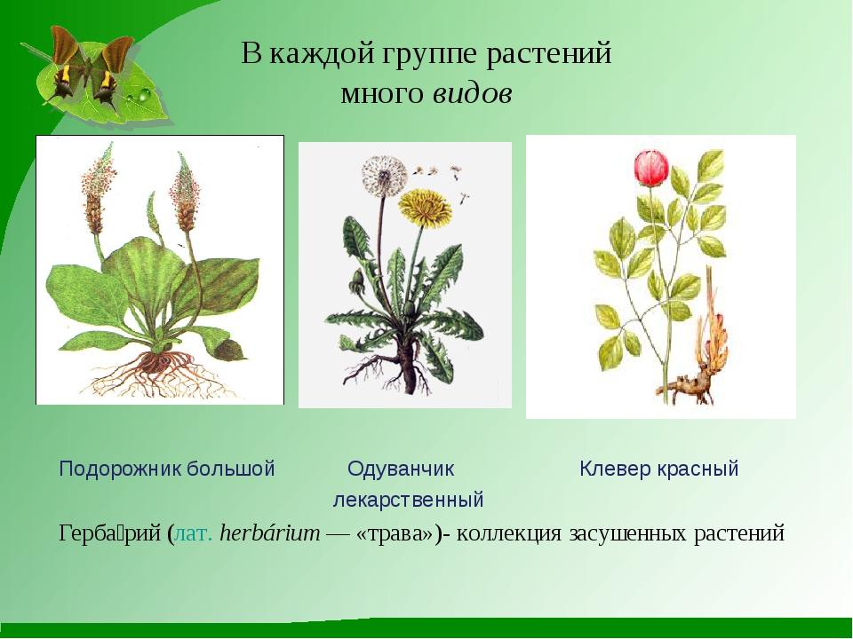 В каждой группе растений много видов Подорожник большой Одуванчик Клевер крас...