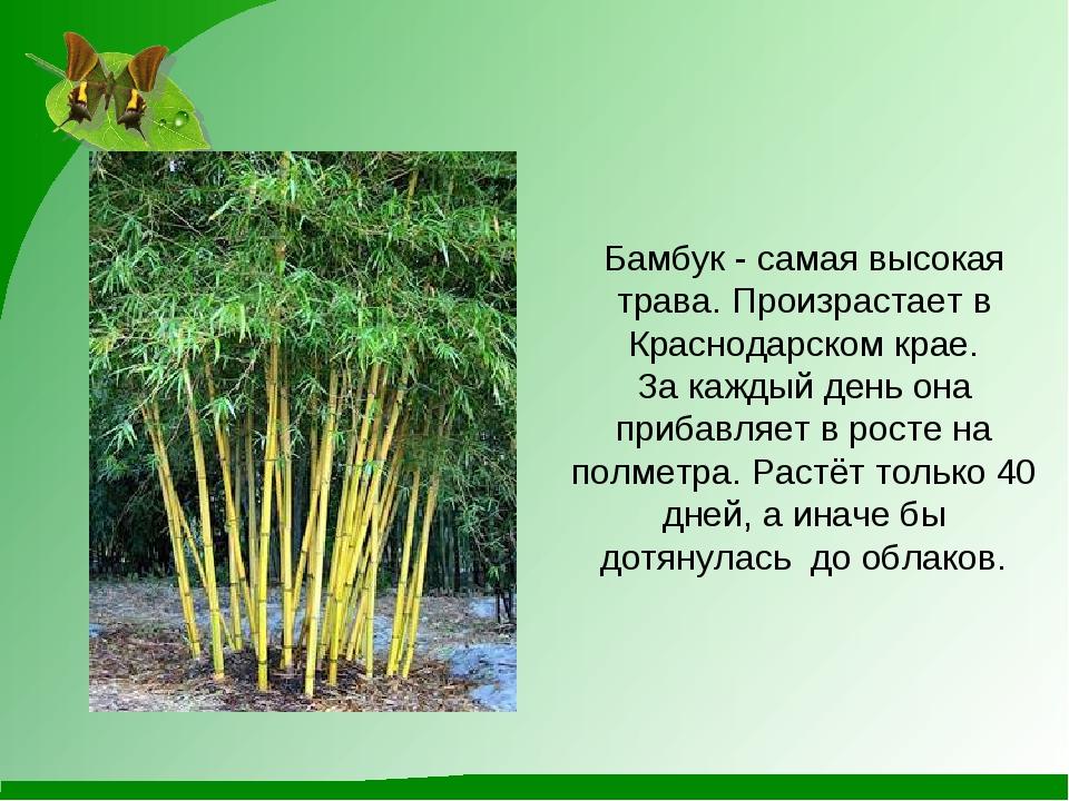 Бамбук - самая высокая трава. Произрастает в Краснодарском крае. За каждый д...