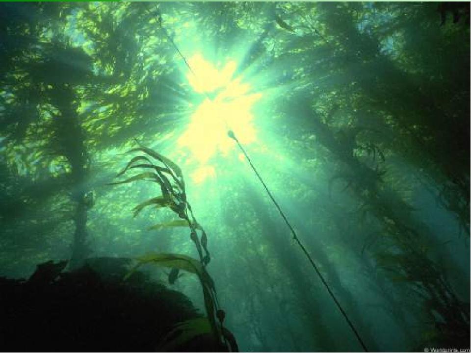 Водоросли. Водоросли - самые древние растения на Земле. Учёные утверждают, чт...
