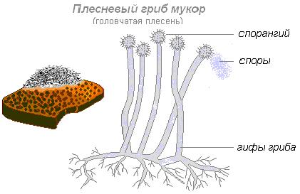 Строение плесневого гриба мукора картинки
