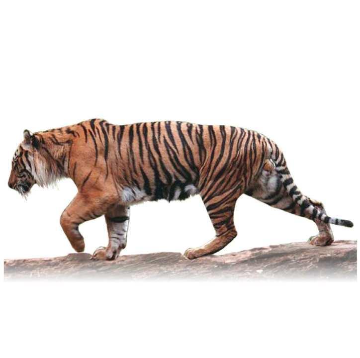 Картинки табличка с названием тигр его кличка и родина