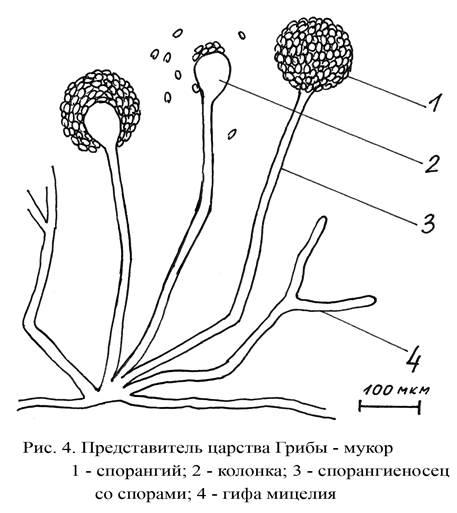 южно-восточная картинки гриба мукор подъюбником кольцах