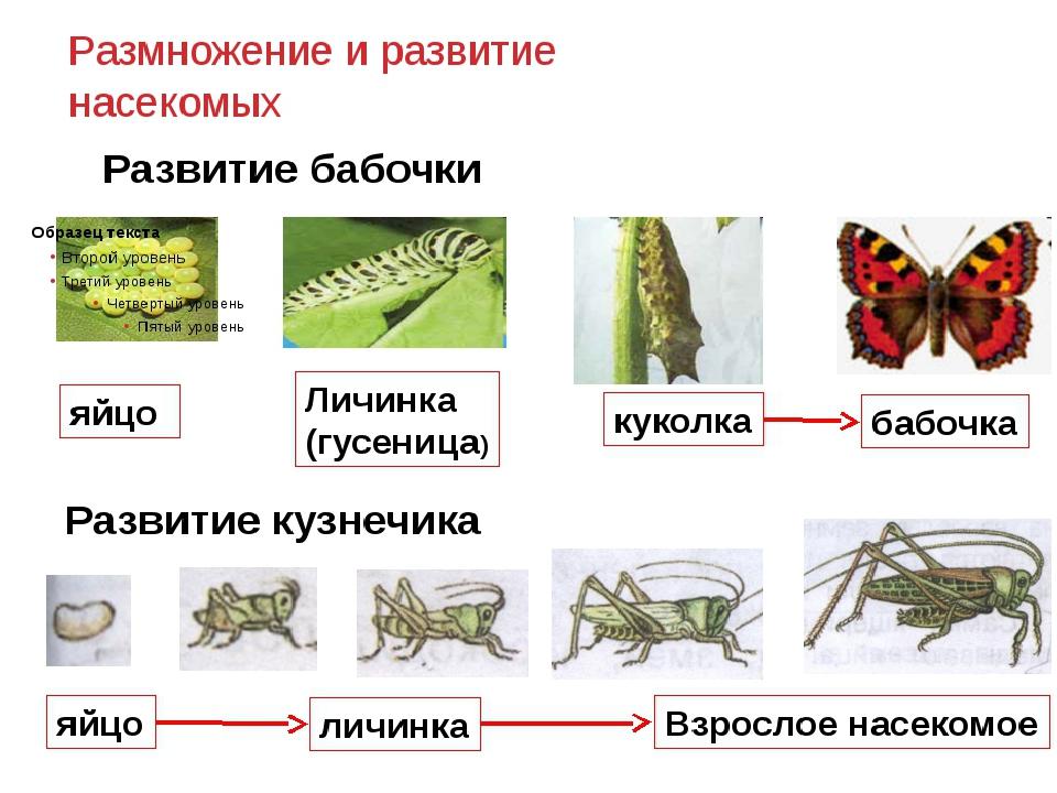 Развитие насекомых картинки для детей