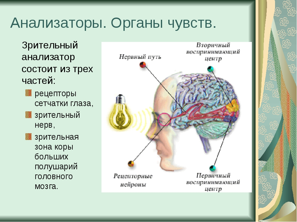 Анализаторы. Органы чувств. Зрительный анализатор состоит из трех частей: ре...