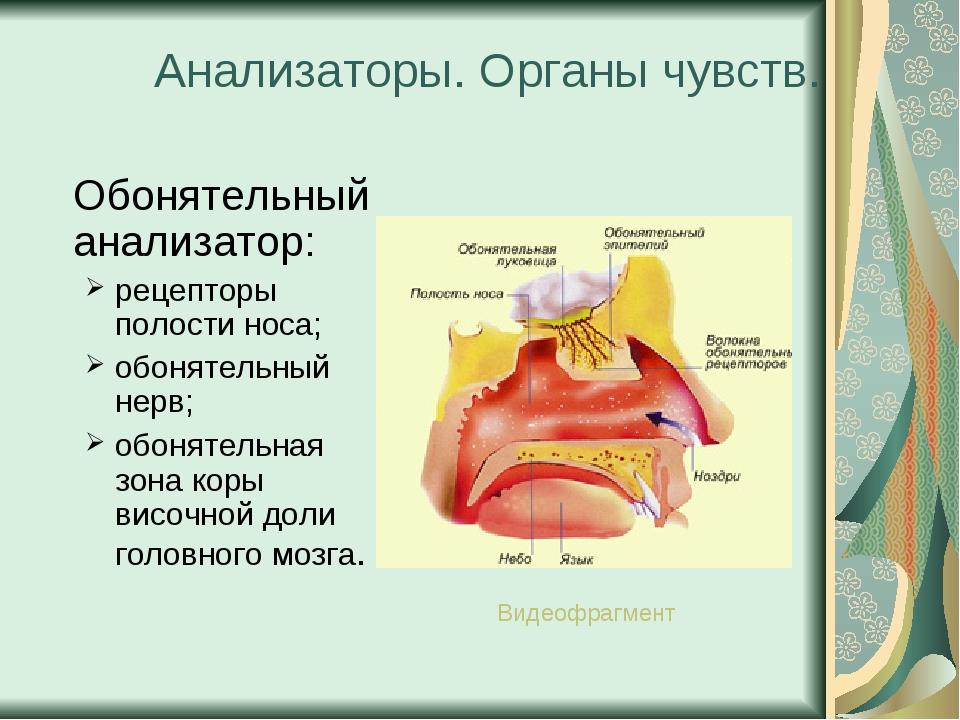 Анализаторы. Органы чувств. Обонятельный анализатор: рецепторы полости носа;...