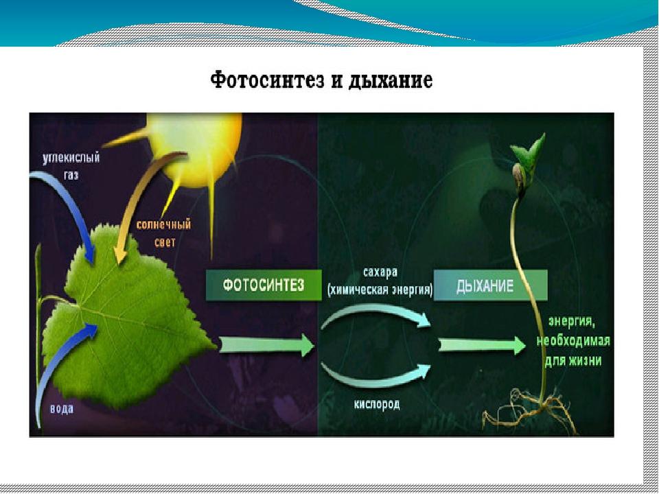 Фотосинтез и его продукты популярная