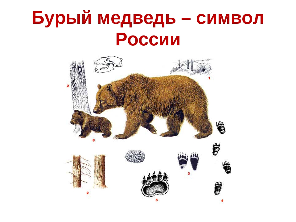 основная медведь как символ картинки без малого