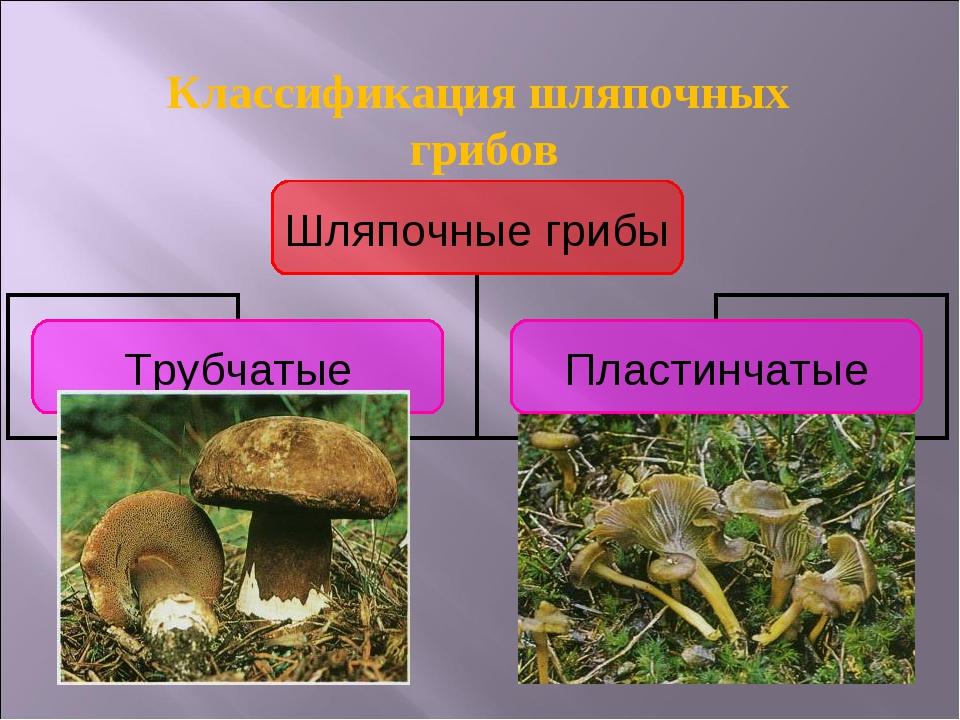 Классификация шляпочных грибов