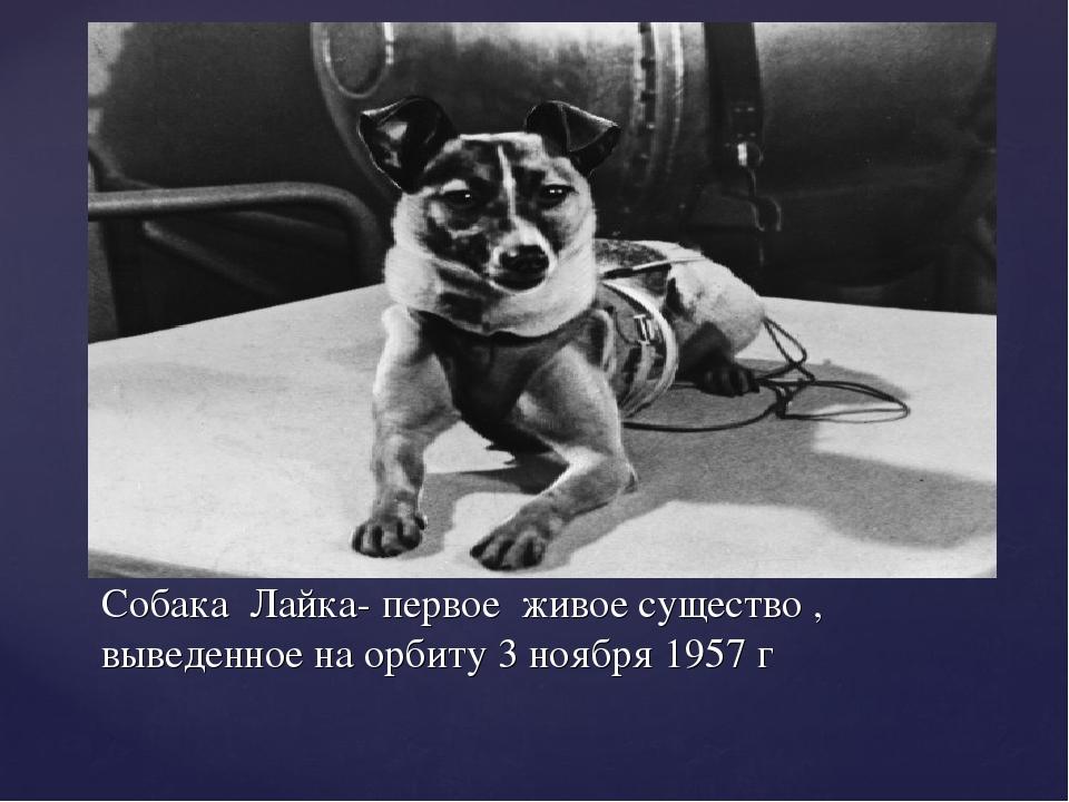 Собака Лайка- первое живое существо , выведенное на орбиту 3 ноября 1957 г
