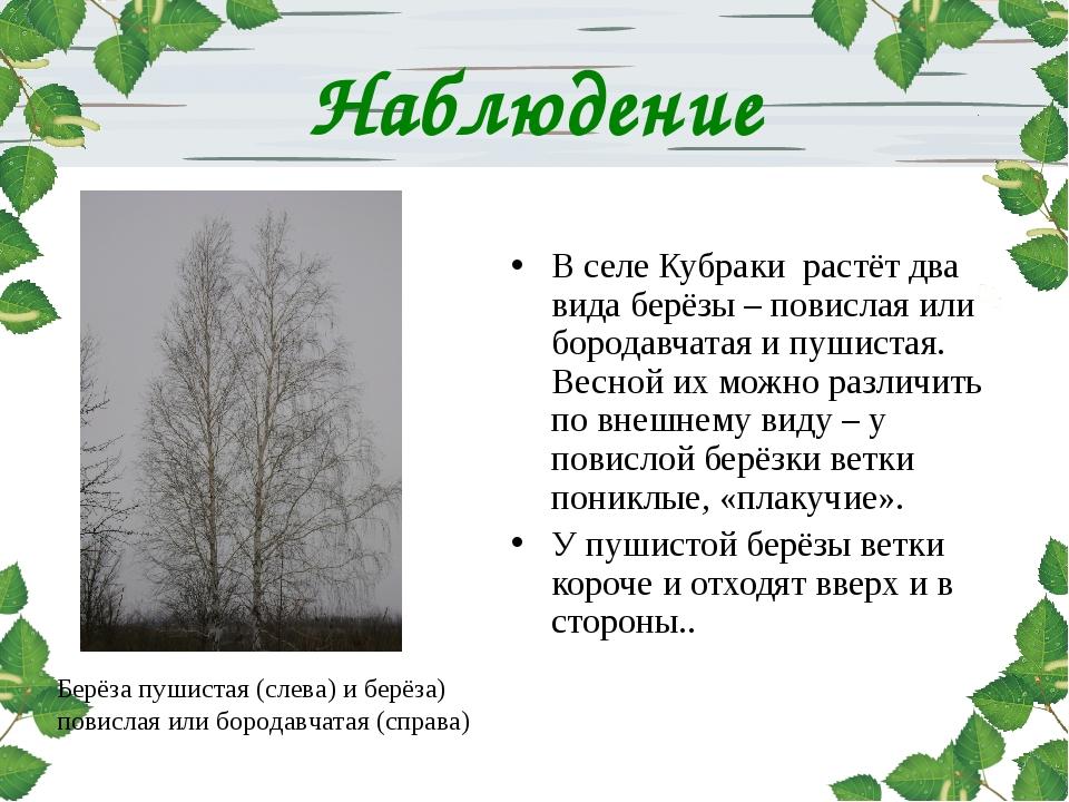 Наблюдение В селе Кубраки растёт два вида берёзы – повислая или бородавчатая...