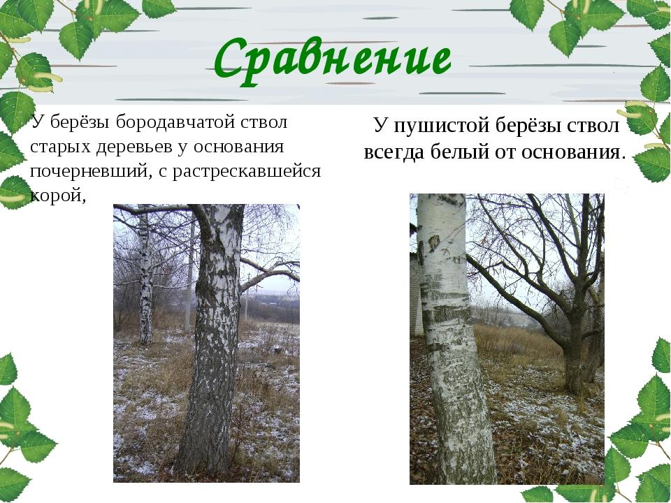 У берёзы бородавчатой ствол старых деревьев у основания почерневший, с растре...