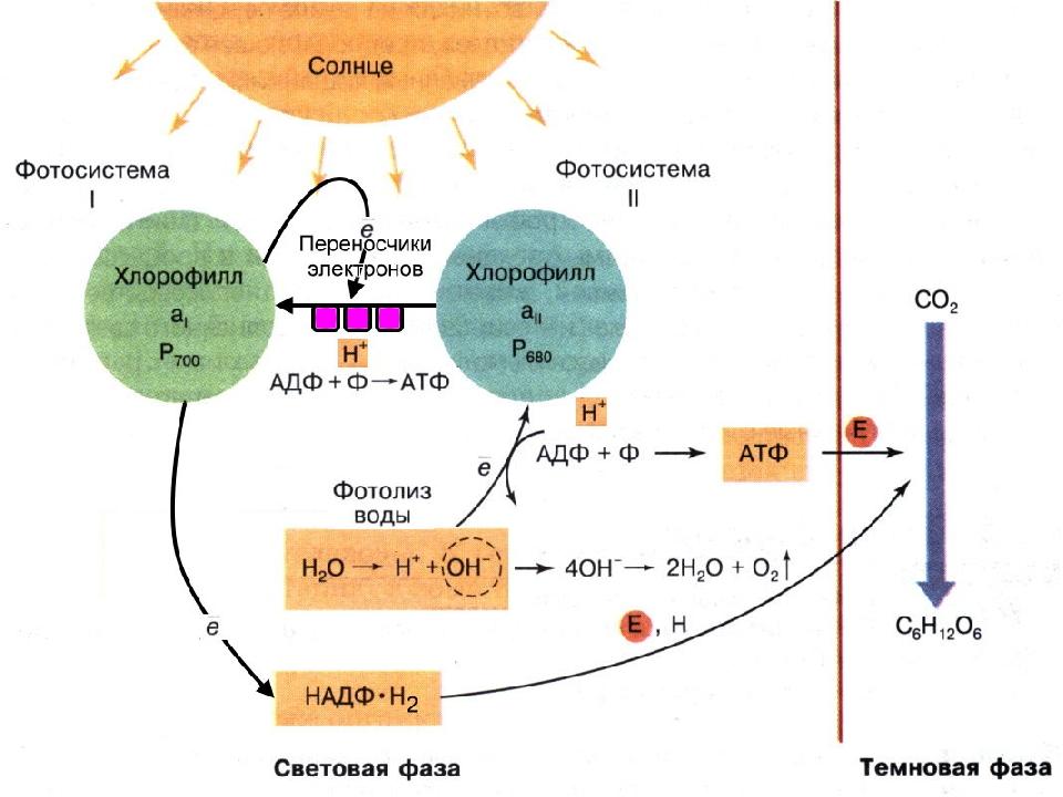 В чем сходство биосинтеза белка и фотосинтеза