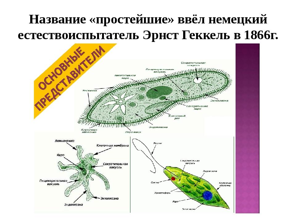 Название «простейшие» ввёл немецкий естествоиспытатель Эрнст Геккель в 1866г.