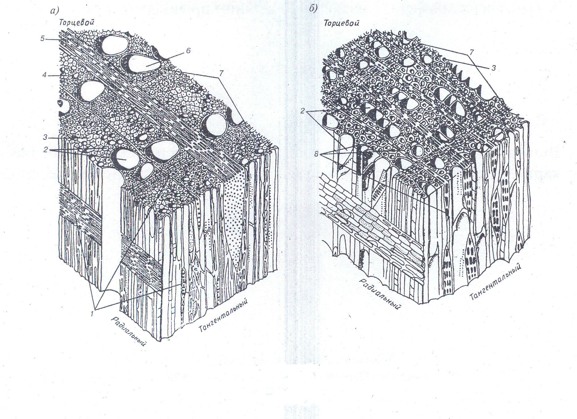 гласят, схема микроскопического строения древесины дуба это время