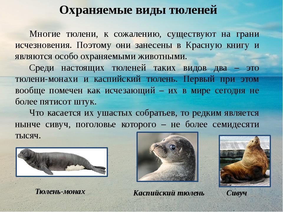 все о тюленях и их картинки работы хочется