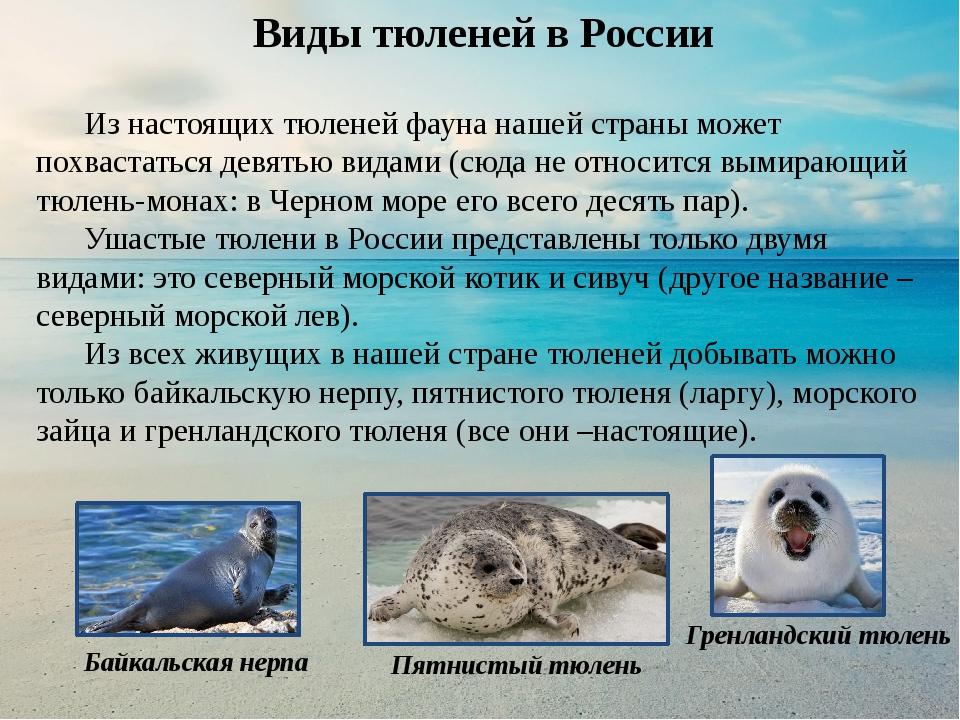все о тюленях и их картинки утром следующего