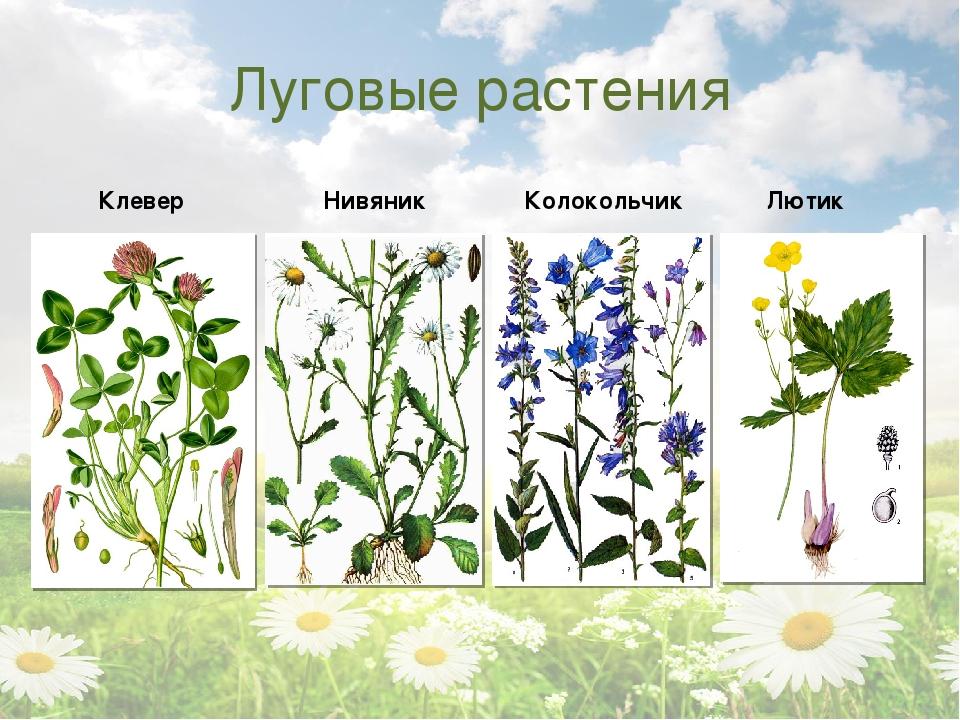 сделать растения луга с картинками и названиями сигареты