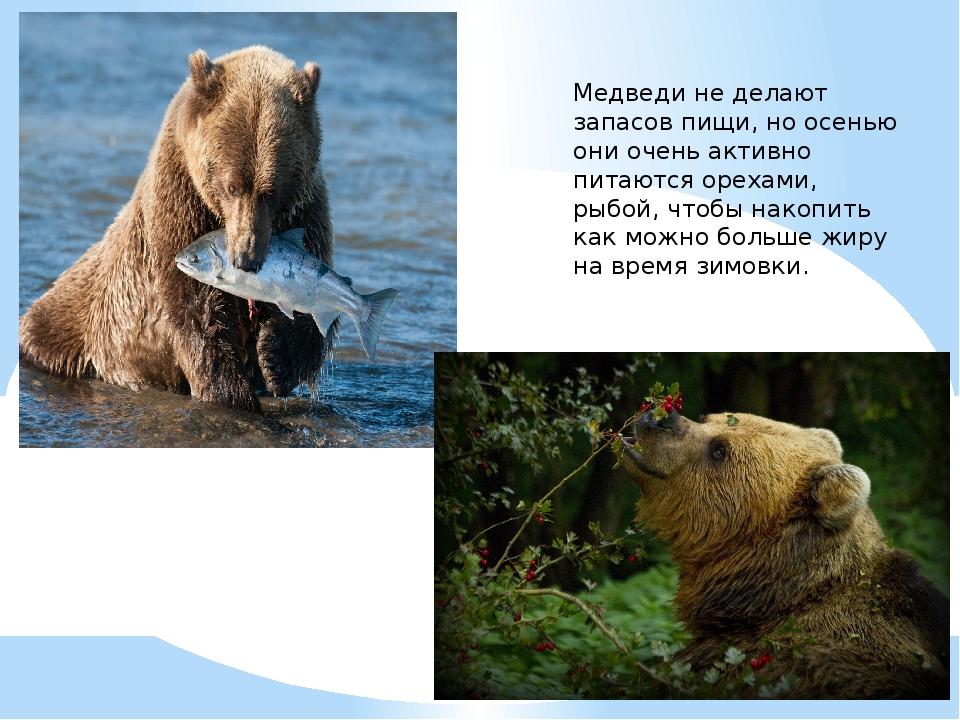 Медведи не делают запасов пищи, но осенью они очень активно питаются орехами,...