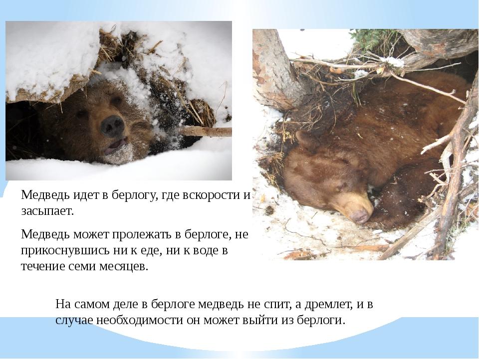 Медведь может пролежать в берлоге, не прикоснувшись ни к еде, ни к воде в теч...