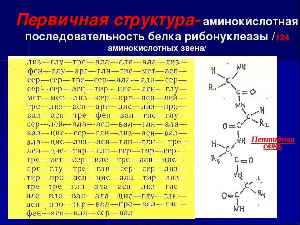Первичная структура- аминокислотная последовательность белка рибонуклеазы /12...