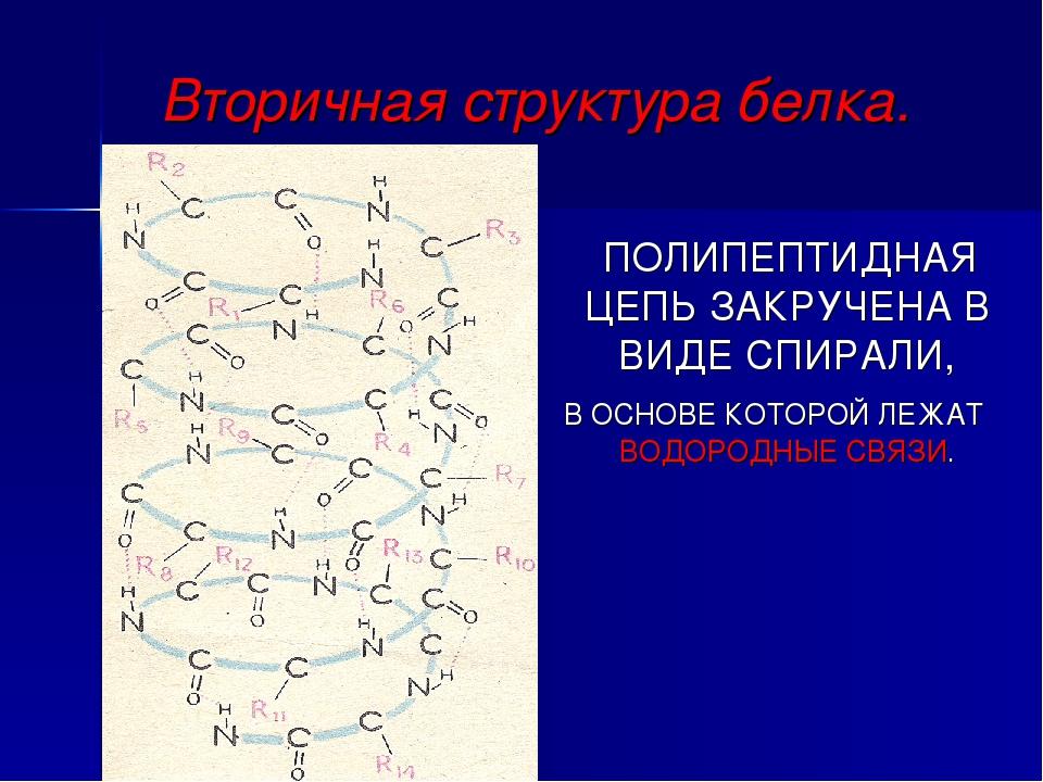 Вторичная структура белка. ПОЛИПЕПТИДНАЯ ЦЕПЬ ЗАКРУЧЕНА В ВИДЕ СПИРАЛИ, В ОСН...