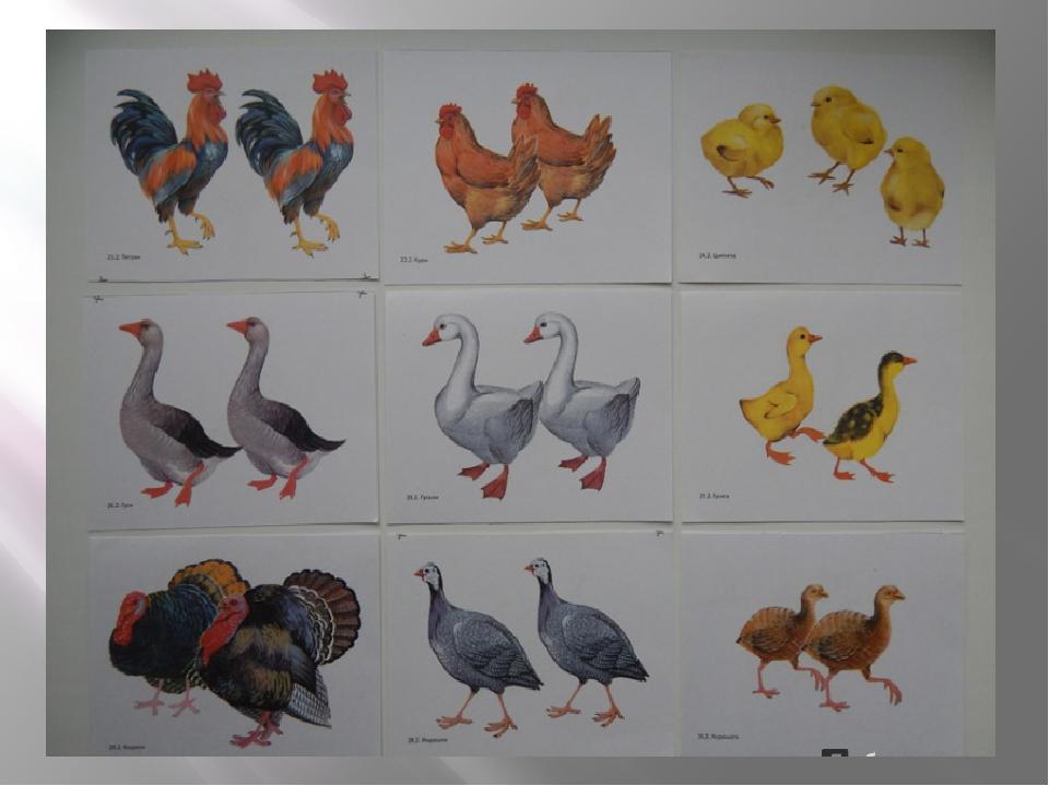 Картинки с изображением домашних птиц, снов