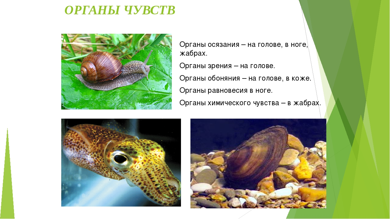 Отличительные черты: Среда обитания моллюсков: Моря, пресные водоёмы, суша....