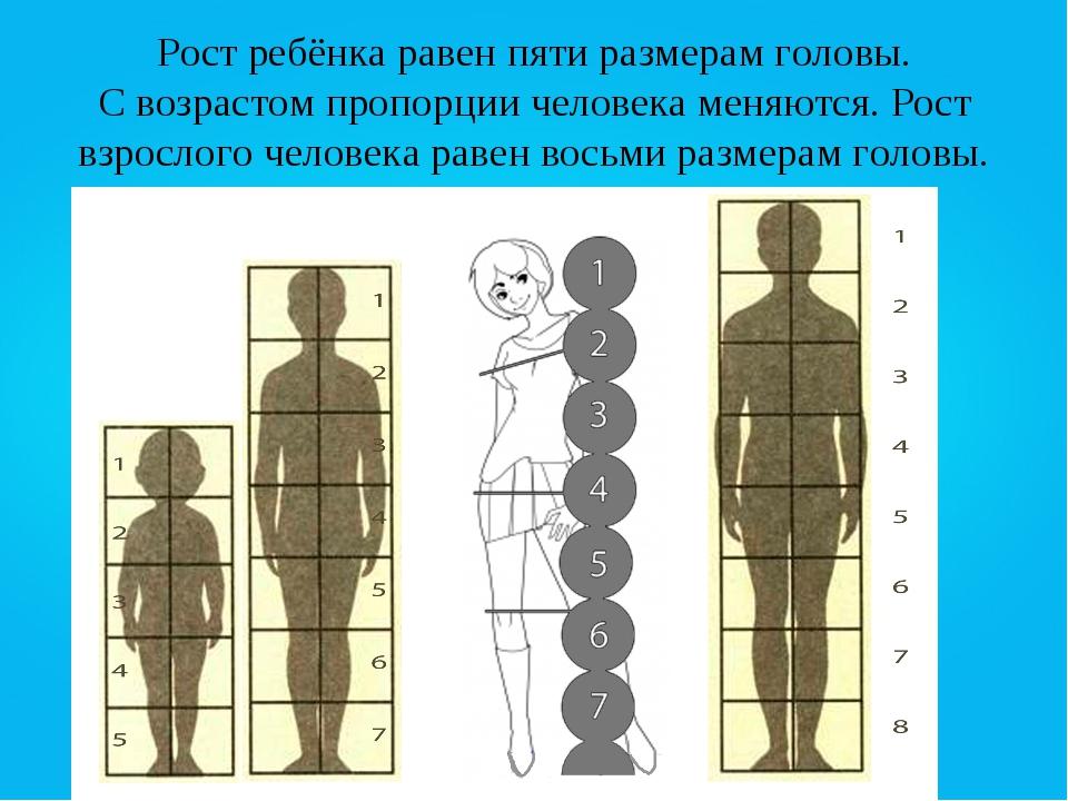 Пропорции человека относительно головы фото
