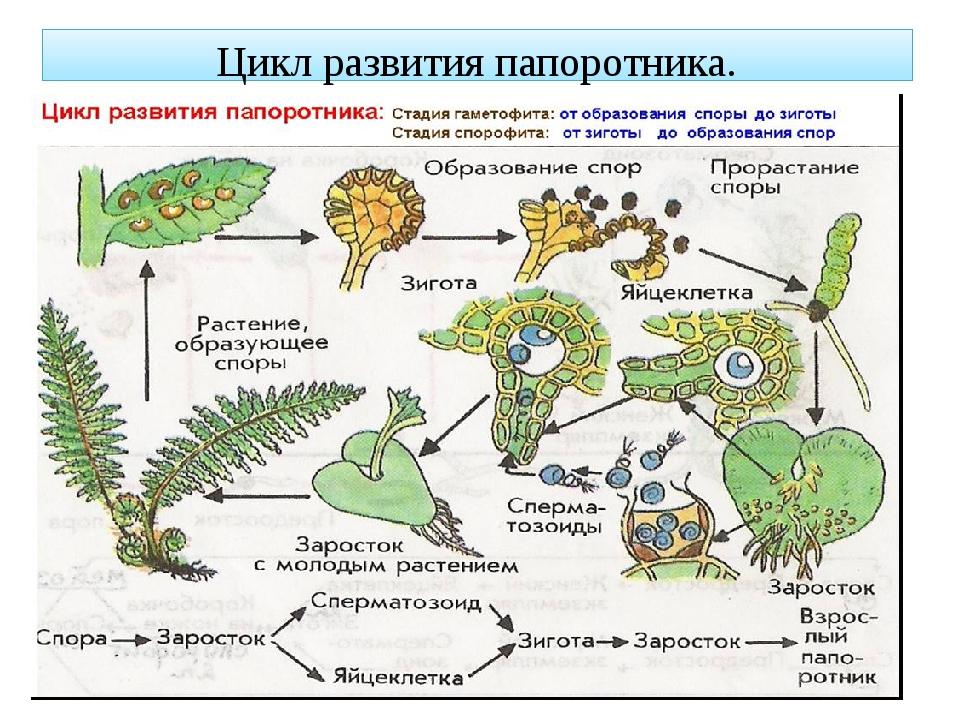 парням цикл развития папоротника схема с набором хромосом мужчина будет употреблять