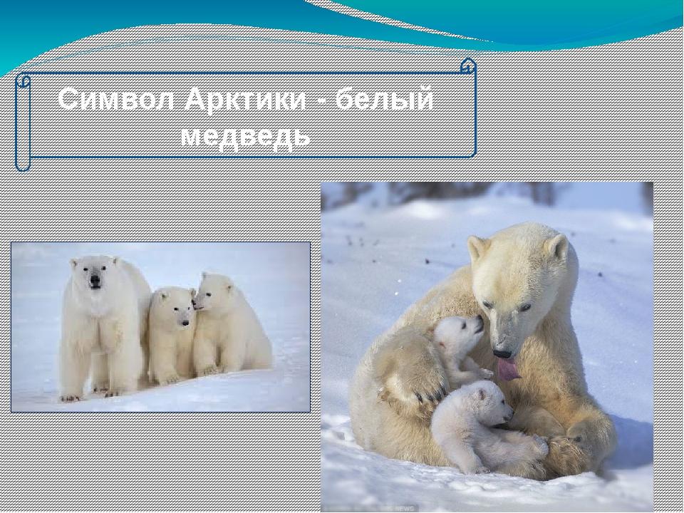 Символ Арктики - белый медведь