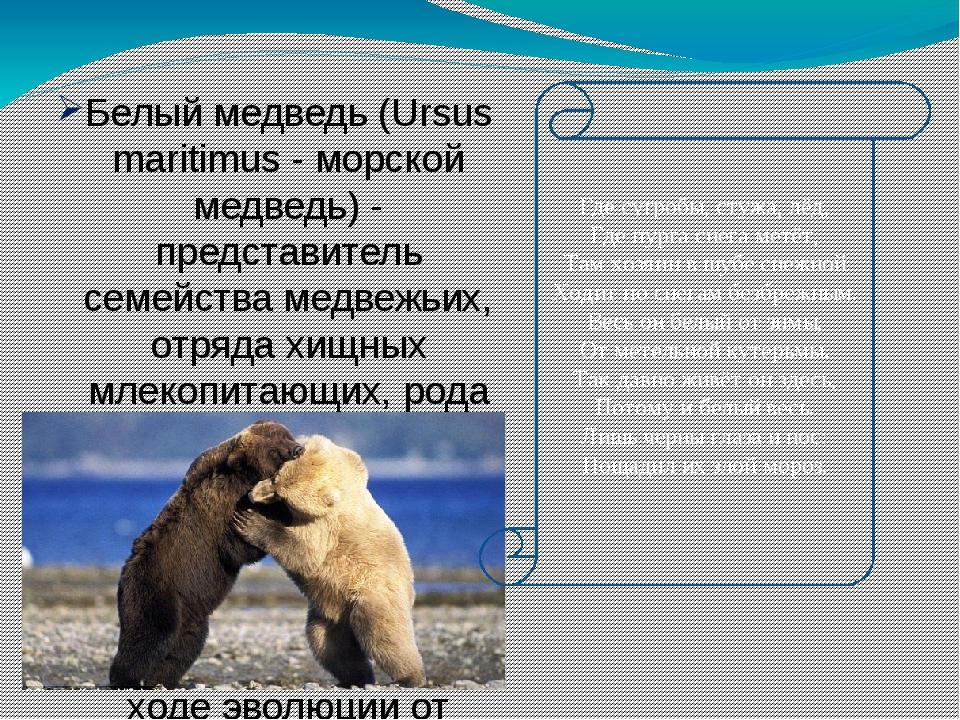 Белый медведь (Ursus maritimus - морской медведь) - представитель семейства м...