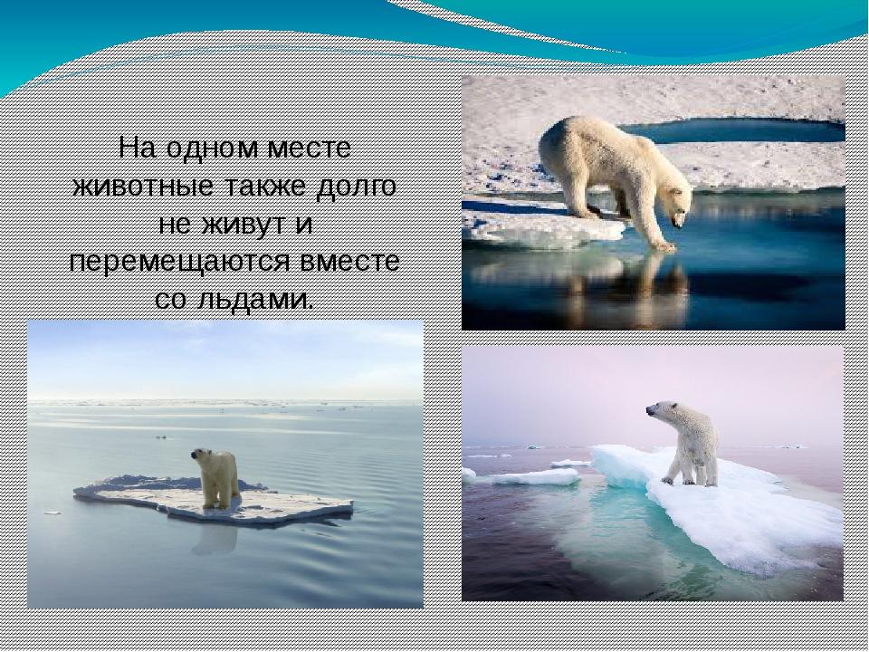 На одном месте животные также долго не живут и перемещаются вместе со льдами.