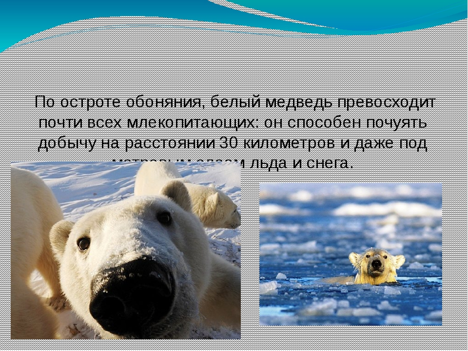 По остроте обоняния, белый медведь превосходит почти всех млекопитающих: он...