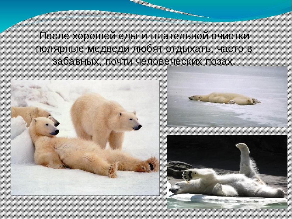 После хорошей еды и тщательной очистки полярные медведи любят отдыхать, часто...