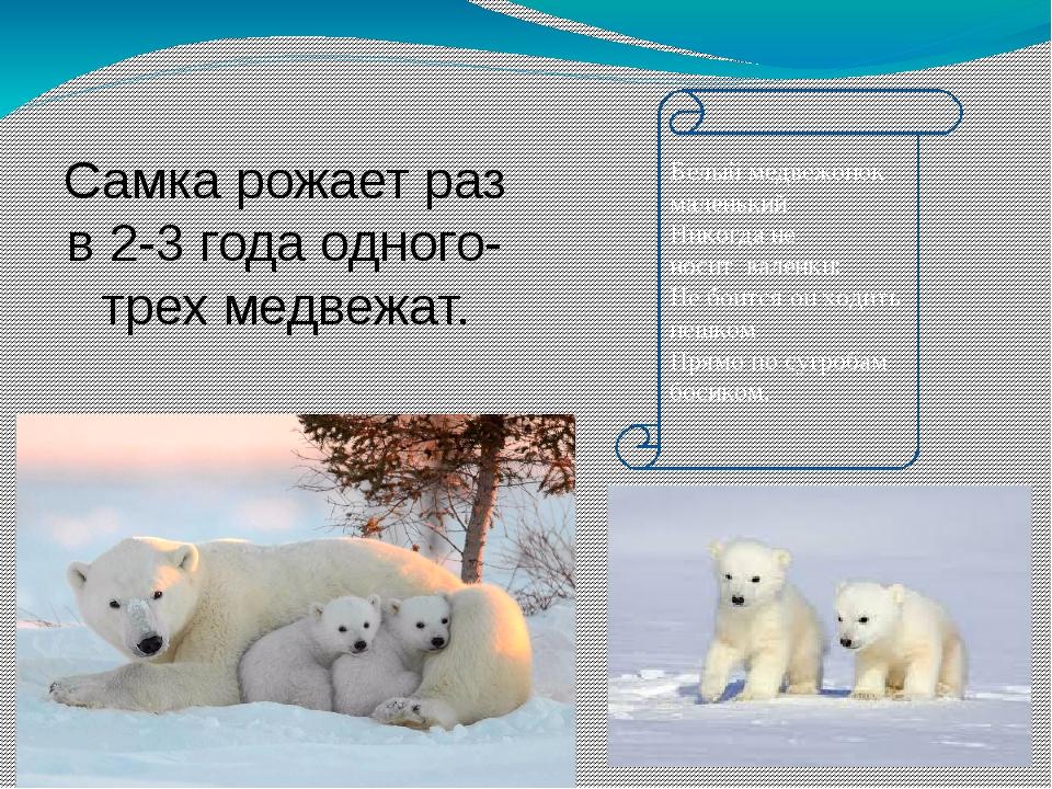 Самка рожает раз в 2-3 года одного-трех медвежат. Детёныши живут с матерью т...