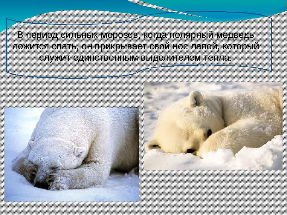 В период сильных морозов, когда полярный медведь ложится спать, он прикрывае...