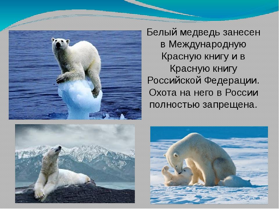 Белый медведь занесен в Международную Красную книгу и в Красную книгу Российс...