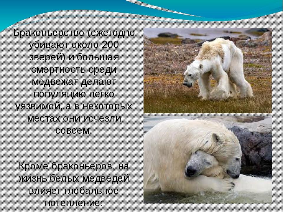 Браконьерство (ежегодно убивают около 200 зверей) и большая смертность среди...