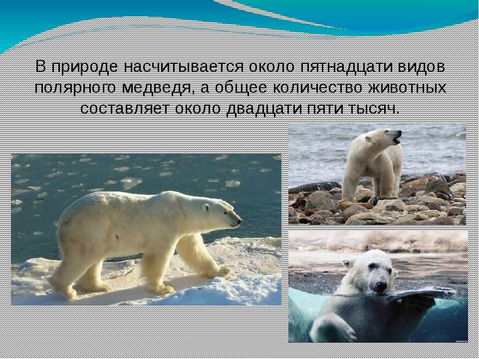 В природе насчитывается около пятнадцати видов полярного медведя, а общее кол...