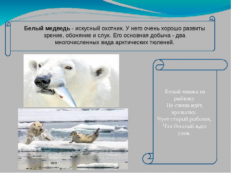 Белый медведь - искусный охотник. У него очень хорошо развиты зрение, обонян...