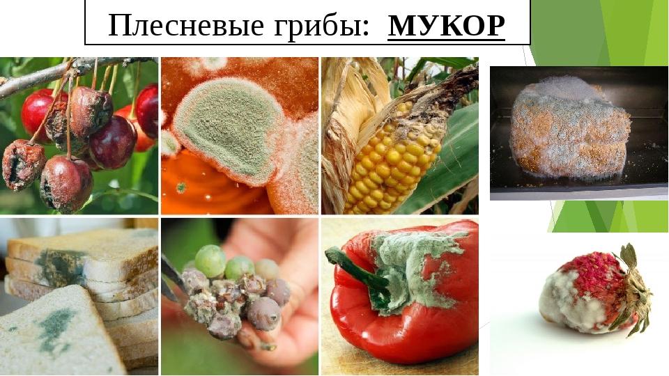 Плесневые грибы: МУКОР